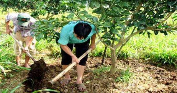 Cách trồng bưởi da xanh ruột hồng